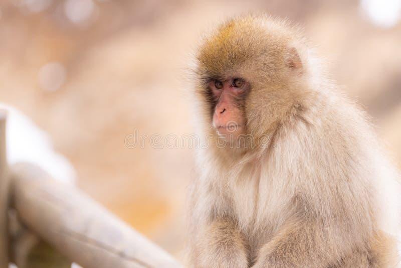 Mono japon?s de la nieve fotografía de archivo libre de regalías