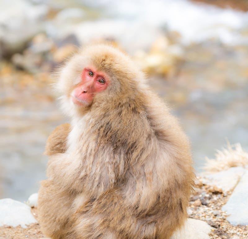 Mono japon?s de la nieve fotografía de archivo