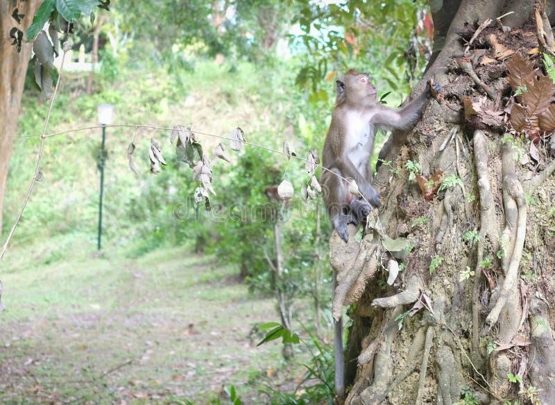 Mono joven que se aferra en raíz grande del árbol y que busca para algo fotografía de archivo libre de regalías
