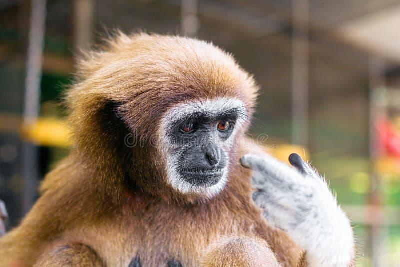 Mono lanoso imagen de archivo