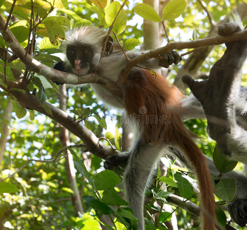 Mono lanudo curioso en un árbol en parque nacional de la bahía de Jozani Chwaka fotos de archivo libres de regalías