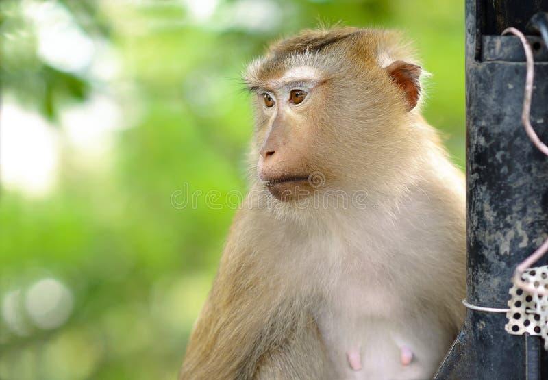 Mono lindo 'con referencia a mirar algo foto de archivo