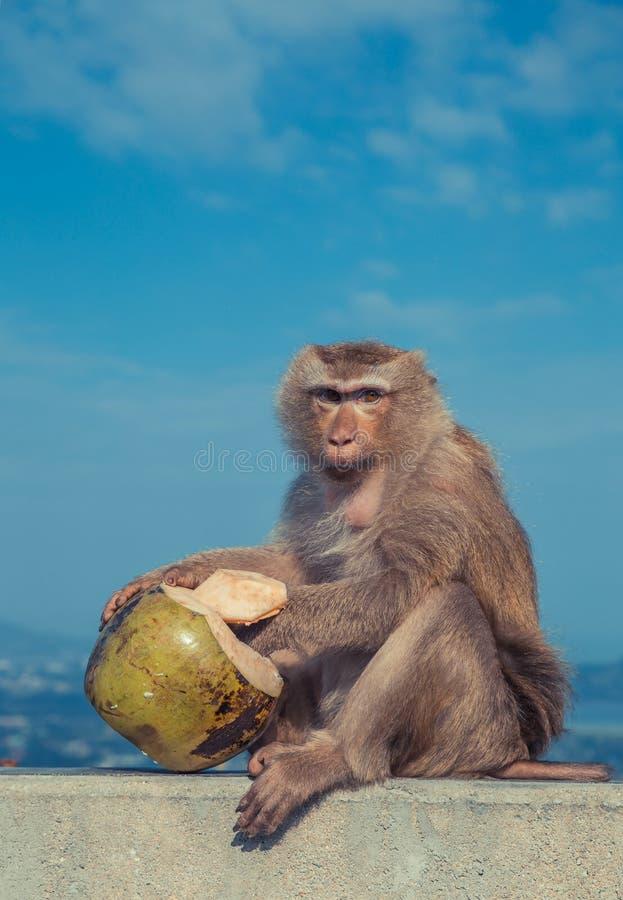 Mono lindo que come el coco foto de archivo