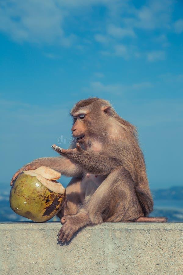 Mono lindo que come el coco imagen de archivo libre de regalías