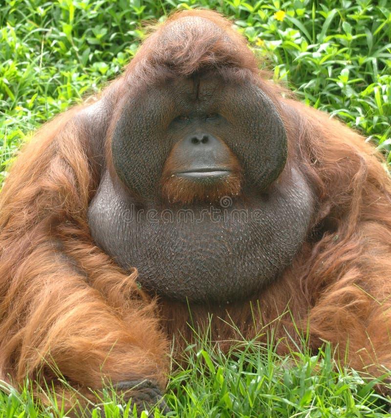Mono masculino enorme del orangután, naranja de Borneo, Asia fotos de archivo libres de regalías
