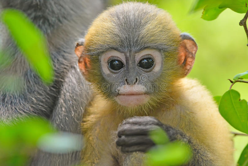 Mono oscuro de la hoja con su hijo imagen de archivo libre de regalías