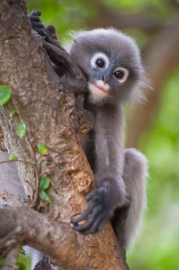Mono oscuro de la hoja/Langur con gafas foto de archivo