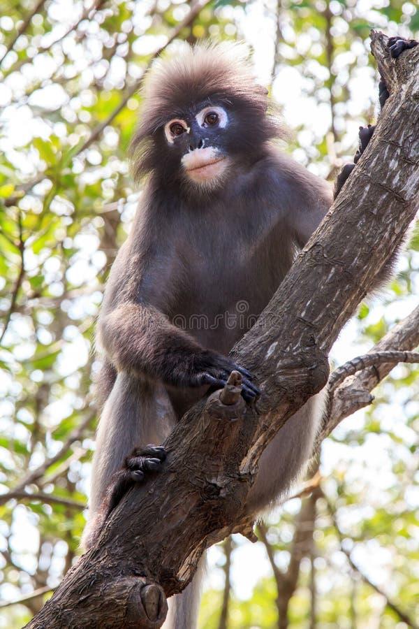 Mono oscuro del langur foto de archivo