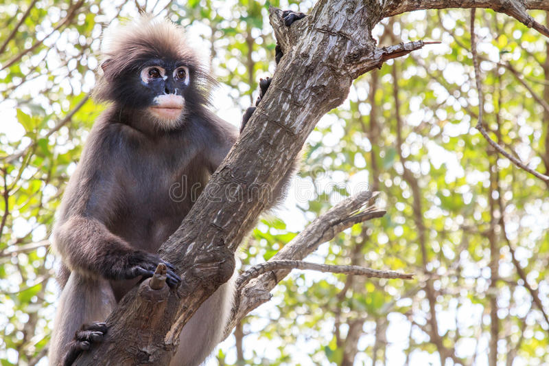 Mono oscuro del langur fotografía de archivo libre de regalías