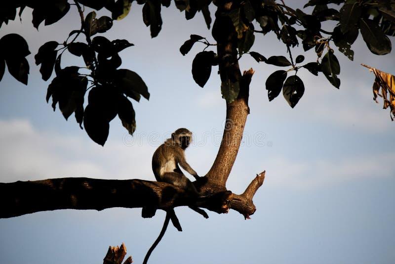 Mono pensativo que se sienta en una rama en la puesta del sol imagen de archivo libre de regalías