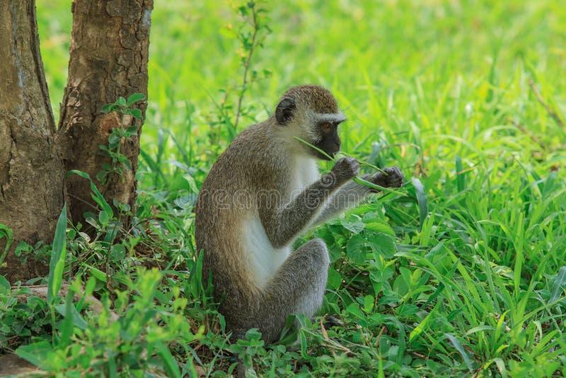 Mono pequeño y lindo de Brown que come las hojas en el parque nacional de Mikumi, Tanzania foto de archivo