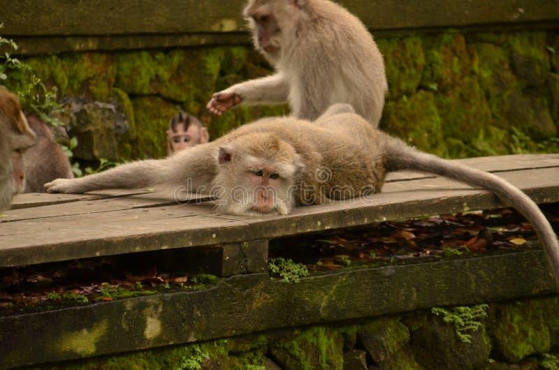 Mono perezoso foto de archivo libre de regalías