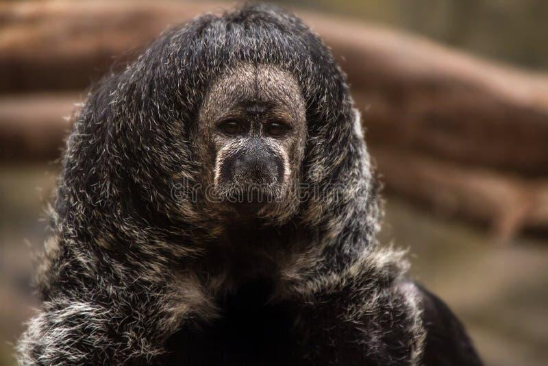 Mono peruano fotos de archivo libres de regalías