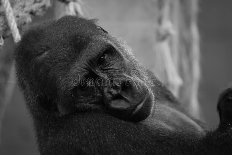Mono primer de la cabeza del gorila en hamaca fotografía de archivo