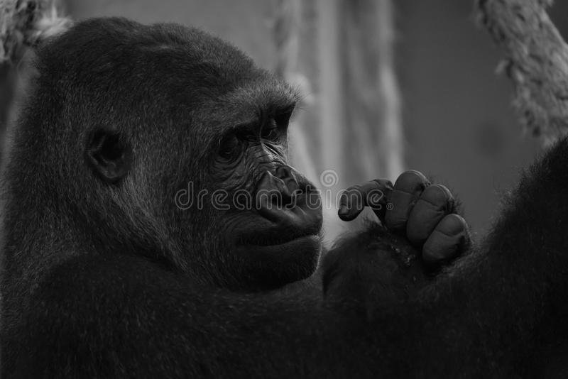 Mono primer de la cabeza y de las manos del gorila imagen de archivo