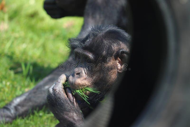 Mono que come en parque zool?gico en Stuttgart fotografía de archivo libre de regalías