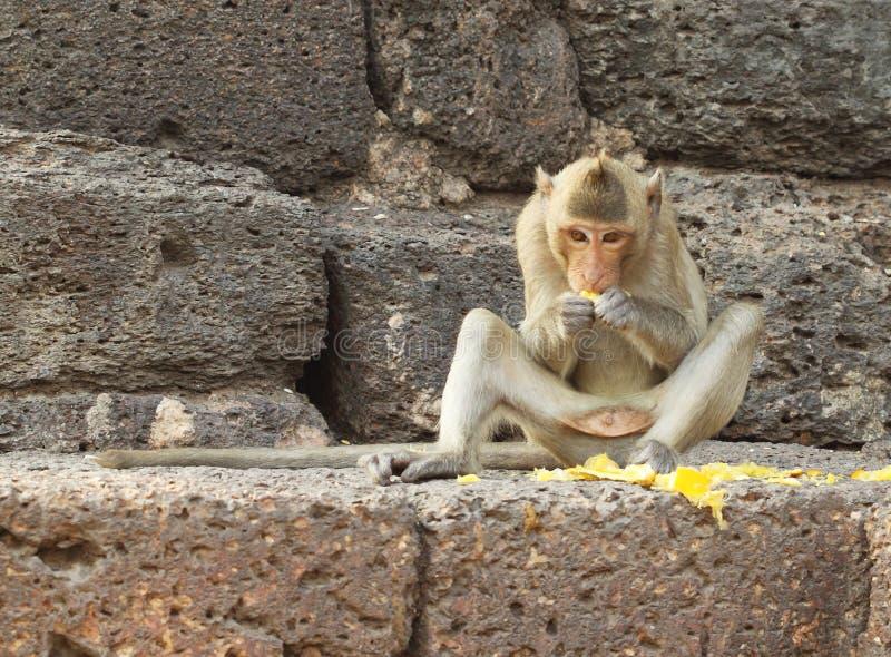 Mono que come la fruta en la pared de piedra foto de archivo libre de regalías