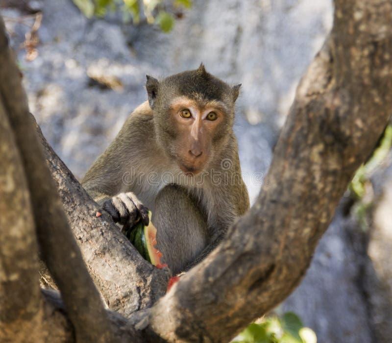 Mono que come una sandía imagenes de archivo