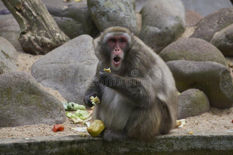Mono que come y que tira de una cara culpable sorprendida porque lo cogen fotografía de archivo