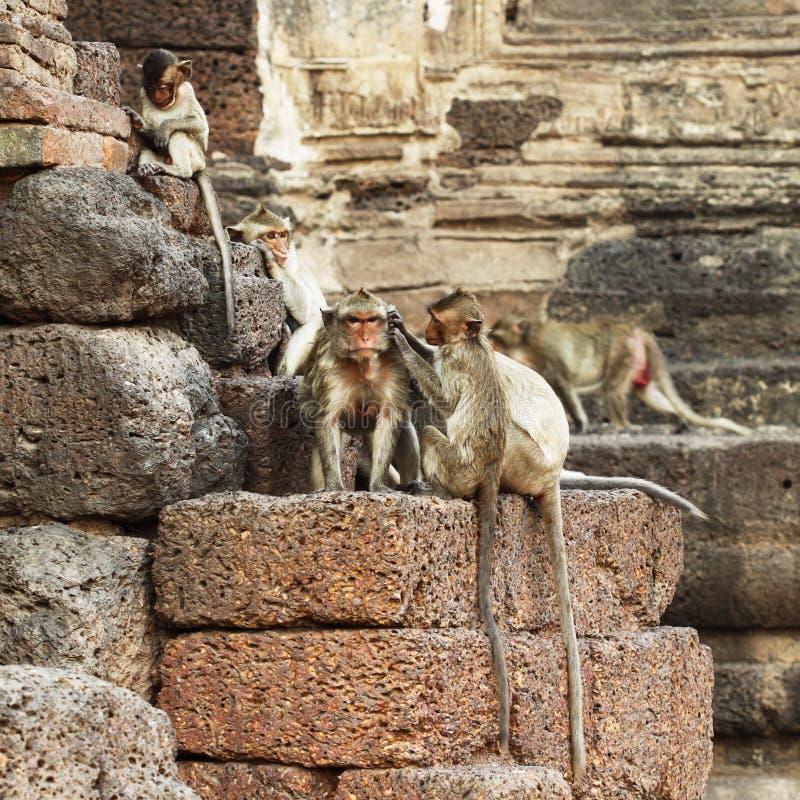 Mono que descansa sobre la pared de piedra fotografía de archivo