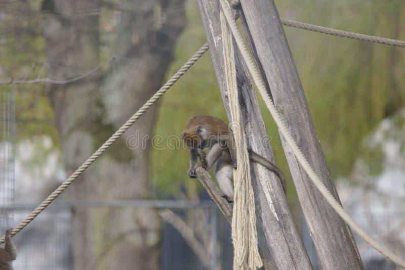 Mono que mira su pie imagenes de archivo