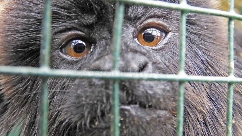 Mono que mira a través de jaula fotografía de archivo