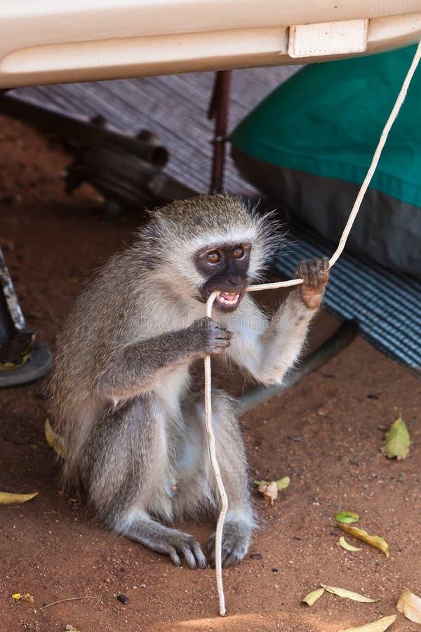 Mono que muerde en una cuerda foto de archivo
