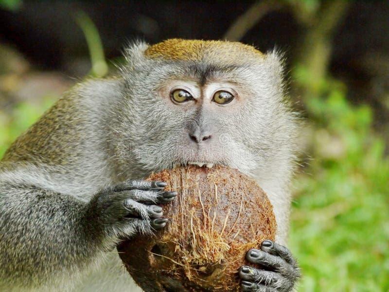 Mono que muerde un coco imagenes de archivo