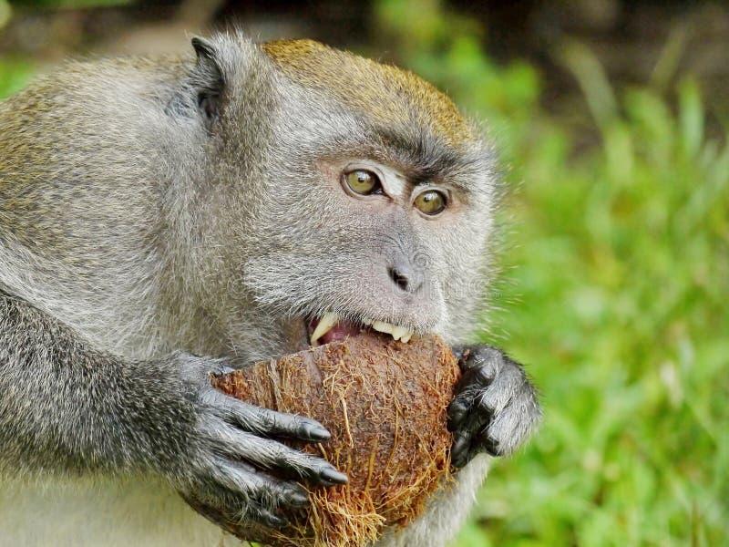 Mono que muerde un coco foto de archivo libre de regalías