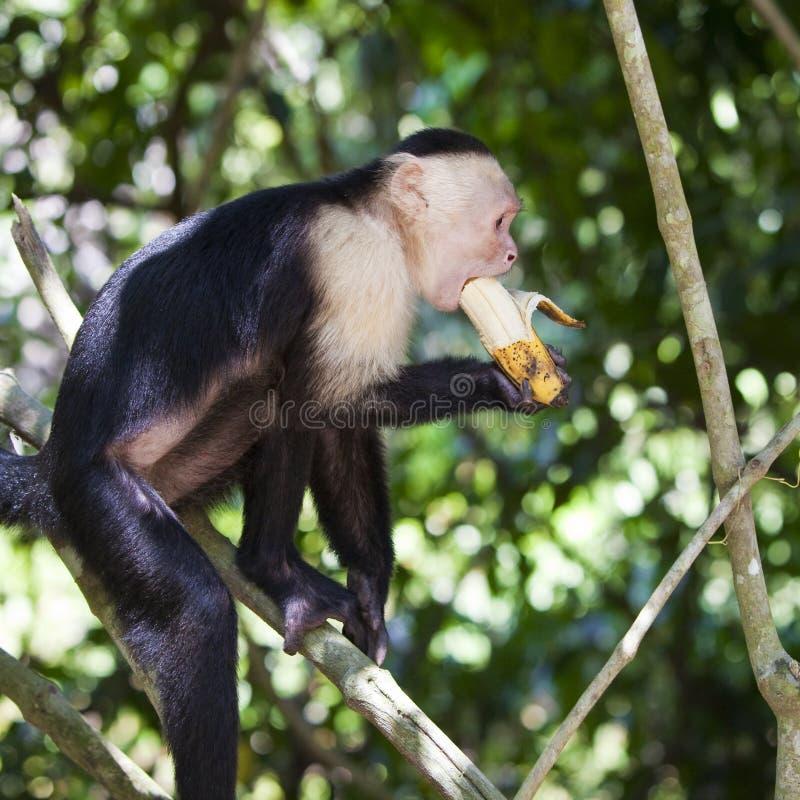 Mono que muerde un plátano imagen de archivo