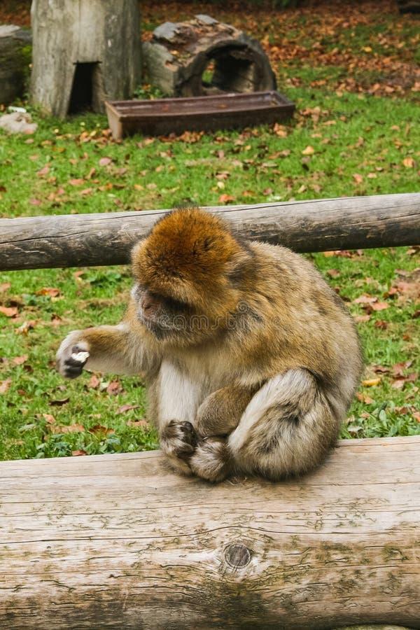 Mono que se sienta en la colina Salem del mono de Affenberg fotos de archivo libres de regalías