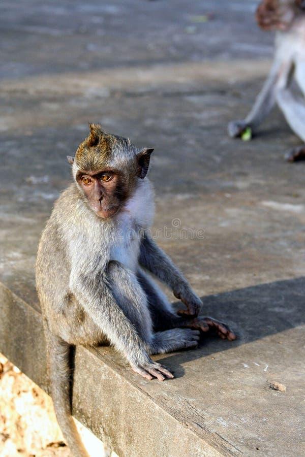 Mono que se sienta en la pared de piedra Animales salvajes de Bali foto de archivo libre de regalías