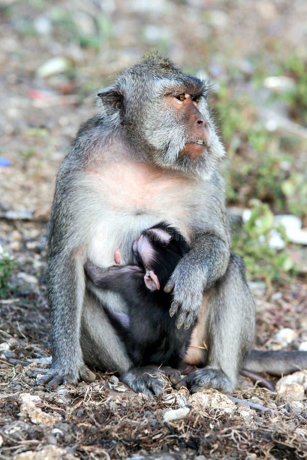 Mono que se sienta en la pared de piedra Animales salvajes de Bali imagen de archivo libre de regalías