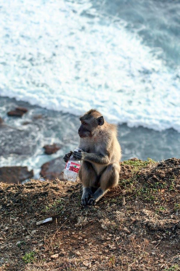 Mono que se sienta en la pared de piedra Animales salvajes de Bali imagenes de archivo