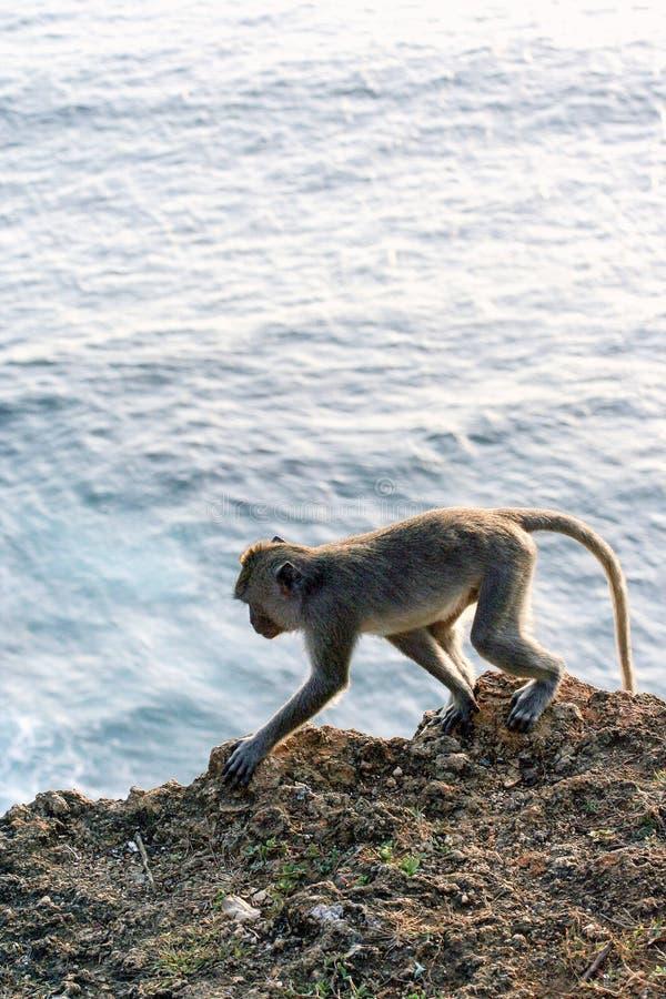Mono que se sienta en la pared de piedra Animales salvajes de Bali fotografía de archivo