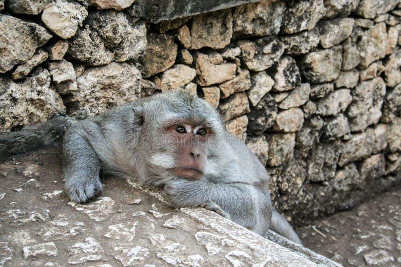 Mono que se sienta en la pared de piedra Animales salvajes de Bali imagen de archivo