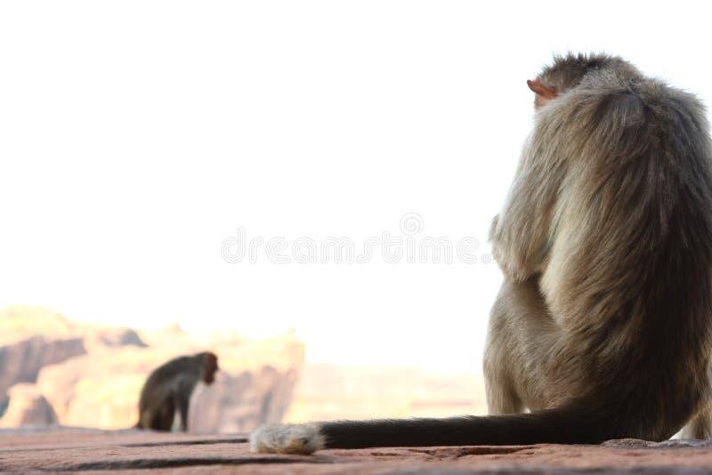 Mono que se sienta en la roca foto de archivo libre de regalías
