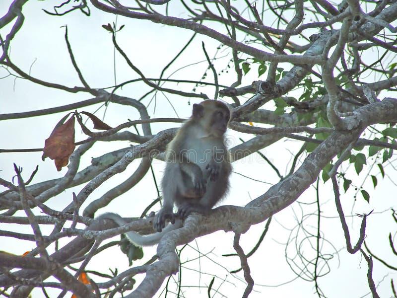 Mono que se sienta en un árbol que busca algo imágenes de archivo libres de regalías