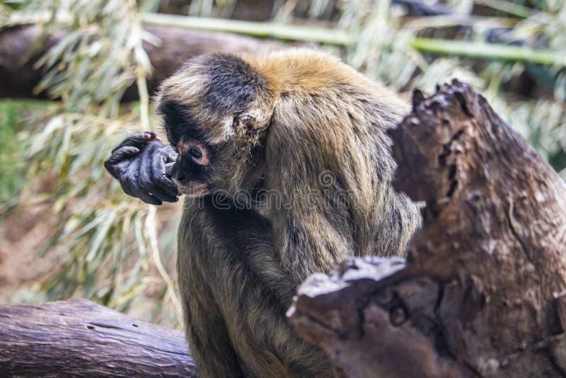 Mono que se sienta en un registro fotos de archivo libres de regalías