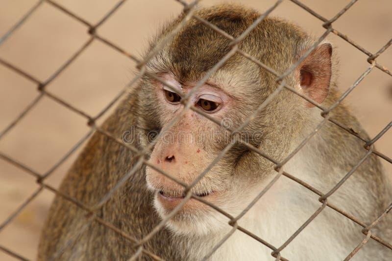 Mono salvaje cerrado en una jaula foto de archivo