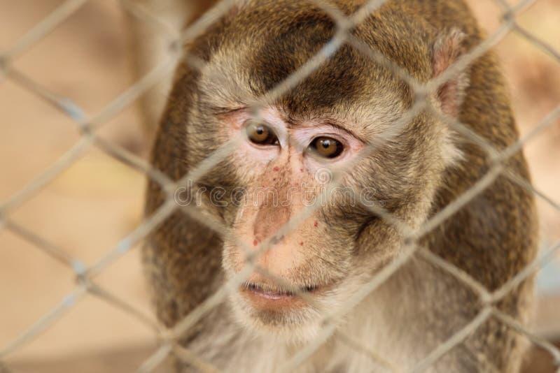 Mono salvaje cerrado en una jaula imagen de archivo libre de regalías