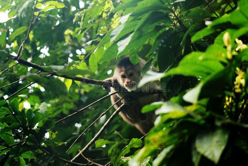 Mono salvaje del apuchin, albifrons del cebus, ocultando entre las hojas y comprobándonos hacia fuera fotografía de archivo