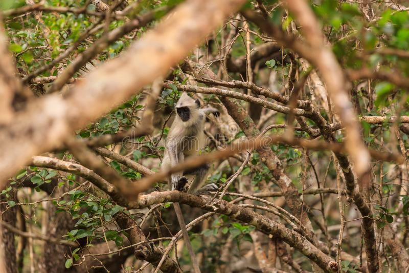 Mono salvaje en un árbol, parque nacional de Yala, Sri Lanka de Gibbon imagen de archivo