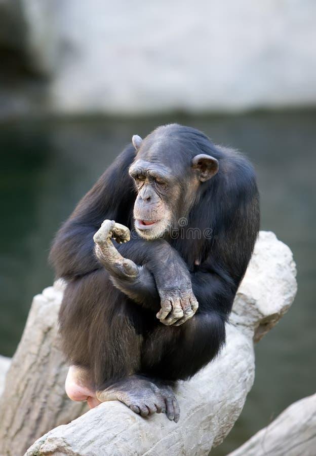 Mono solo que se sienta encima de un tronco de árbol grande foto de archivo
