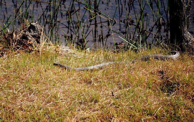 Mono Spectacled кобра стоковая фотография rf