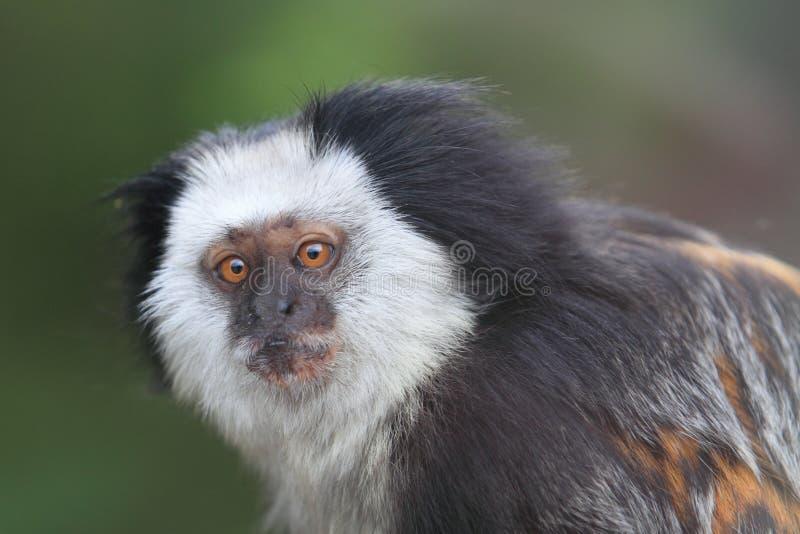 Mono tití de cabeza blanca foto de archivo libre de regalías