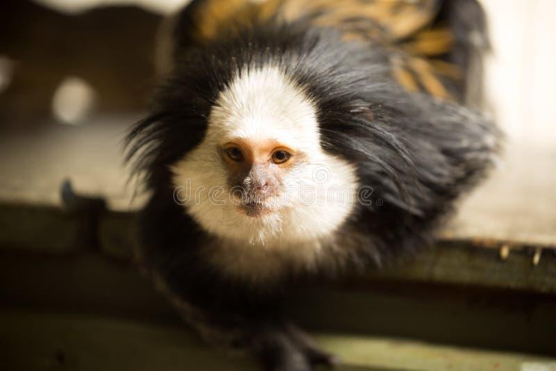 Mono tití de cabeza blanca, geoffroyi del Callithrix, mirando cerca fotos de archivo