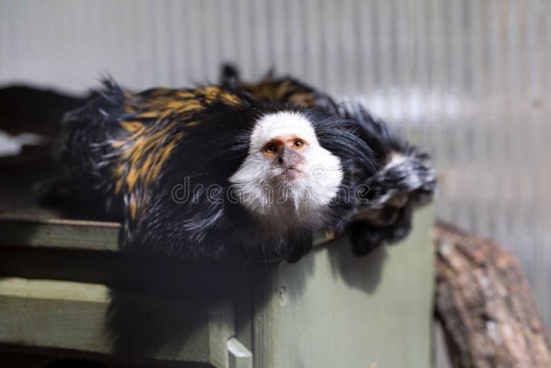Mono tití de cabeza blanca, geoffroyi del Callithrix, mirando cerca imagen de archivo libre de regalías