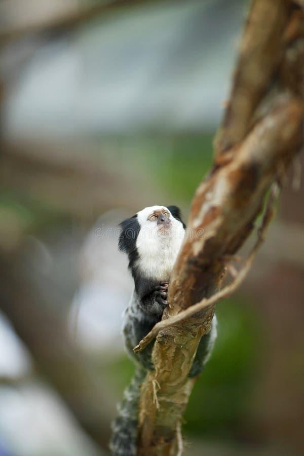 Mono tití de cabeza blanca que se sienta en un árbol imagen de archivo libre de regalías