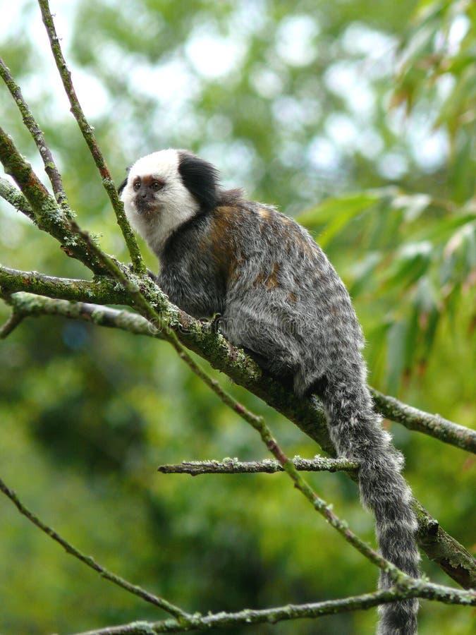 Mono tití de Geoffroys fotografía de archivo